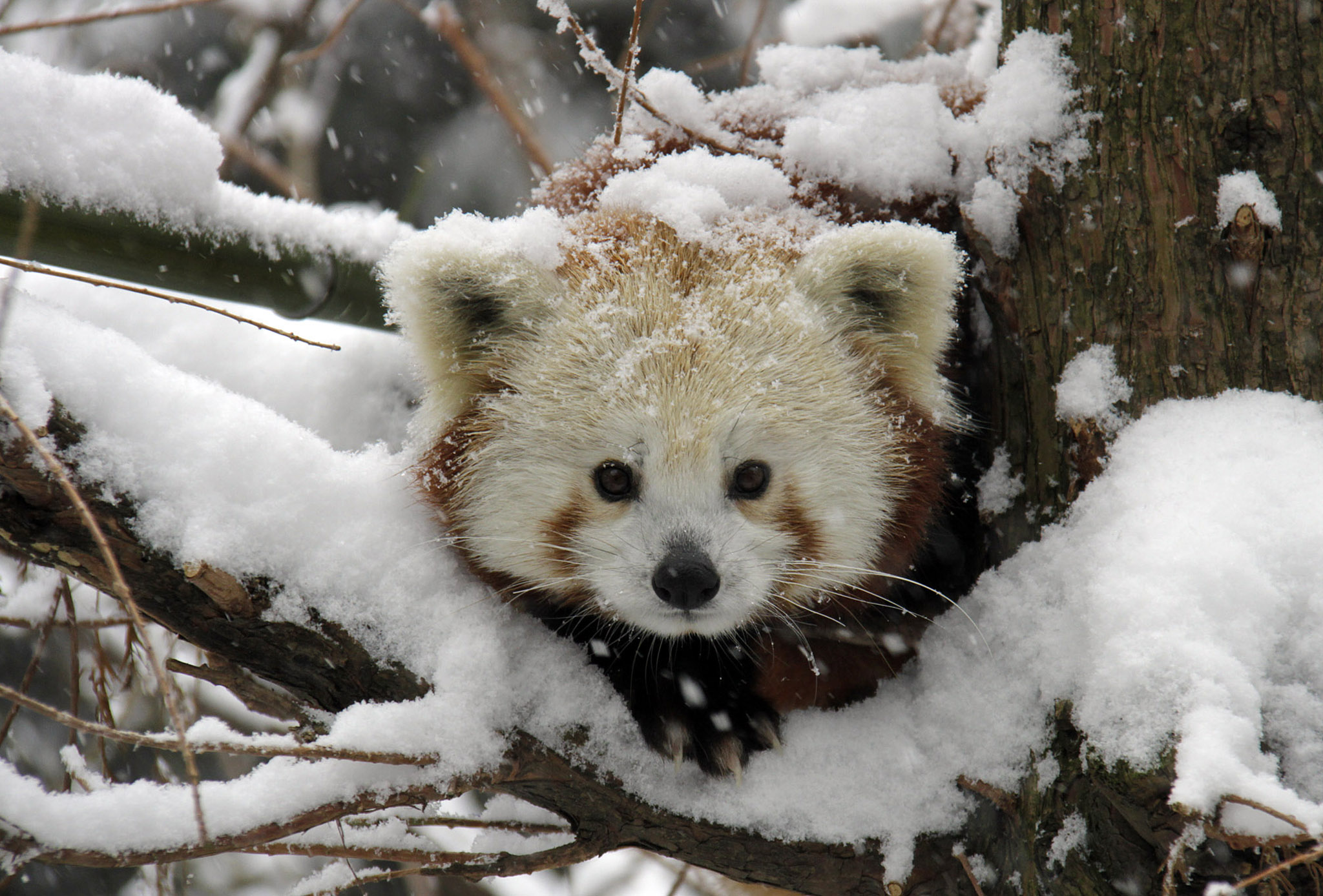 Aninimal Book: Red Panda in Snow | The NeoSmart Files