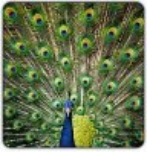 peacock-big.jpg